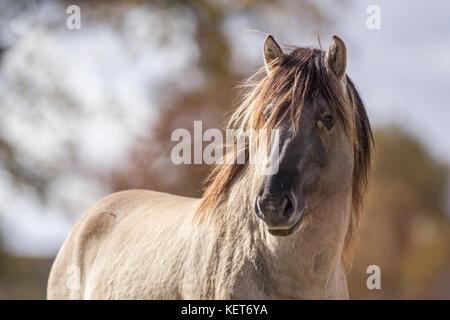 Tarpan stallion - Stock Photo
