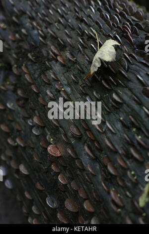 Pennies in a log - Stock Photo
