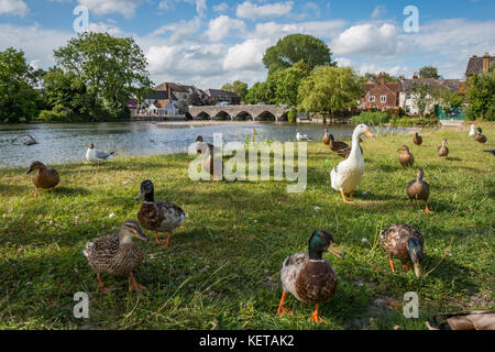 Getting down with the ducks in Fordingbridge, Hampshire, England, UK - Stock Photo