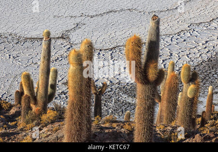 Close up of giant cacti on hills and rocks of the Isla Incahuasi located in the Salar de Uyuni South Lipez Bolivia - Stock Photo
