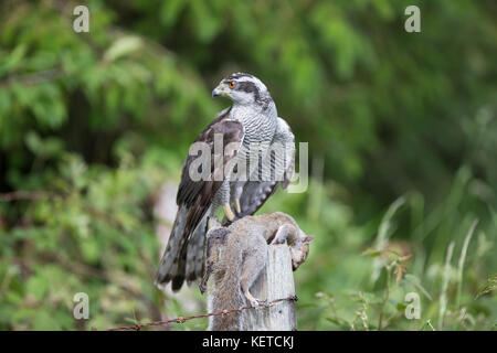 Goshawk  Accipiter Gentilis perched on a wooden post with squirrel prey, taken under controlled conditions