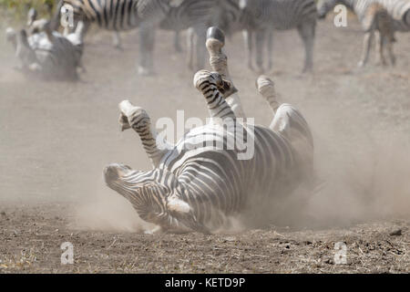 Plains zebra (Equus quagga) rolling in dust on savanna, Kruger National Park, South Africa - Stock Photo