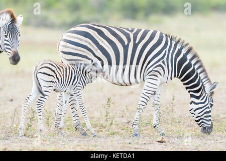Plains zebra (Equus quagga) foal drinking with mother on savanna, Kruger National Park, South Africa - Stock Photo