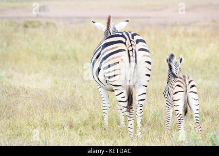 Plains zebra (Equus quagga) mother and foal on savanna, seen from behind, Kruger National Park, South Africa - Stock Photo