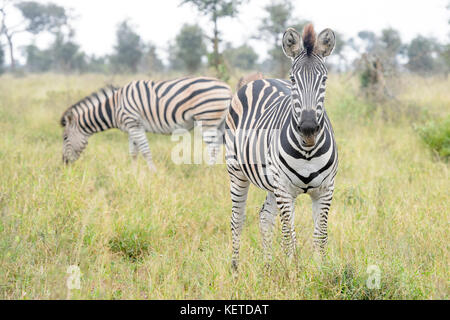Burchell's zebra or Plains zebra (Equus quagga), looking at camera, Kruger National Park, South Africa - Stock Photo