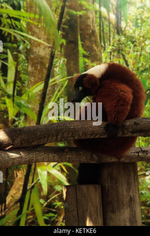 Red Ruffed lemur Varecia rubra perches on a tree limb and snacks on fruit. This primate is native to Madagascar. - Stock Photo
