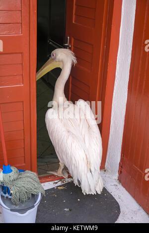 Pelican Petro (Pelecanus onocrotalus) tourist attraction at Mykonos-town, Mykonos, Greece - Stock Photo