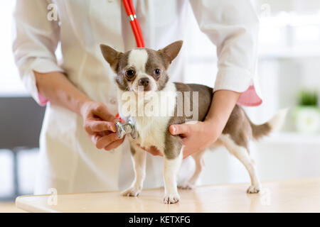 Veterinarian doctor using stethoscope during examination in veterinary clinic. Dog terrier in veterinary clinic - Stock Photo