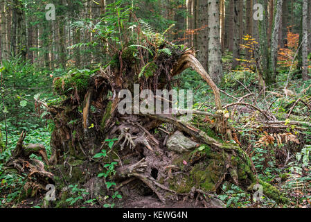 Uprooted spruce tree exposing its tree roots due to high winds in forest - Stock Photo