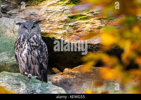 Eurasian eagle owl (Bubo bubo) sitting on rock ledge in cliff face in autumn forest - Stock Photo
