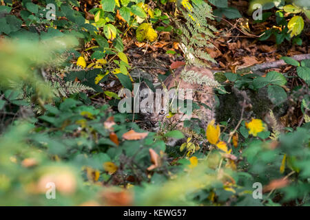 Eurasian lynx (Lynx lynx) kitten showing camouflage colours while hiding in the undergrowth in autumn forest - Stock Photo