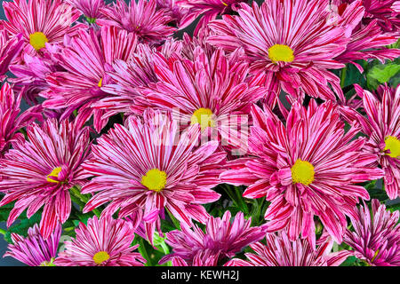 Beautiful floral background - multicolored chrysanthemum flowers bouquet with pink, purple and white stripes on - Stock Photo