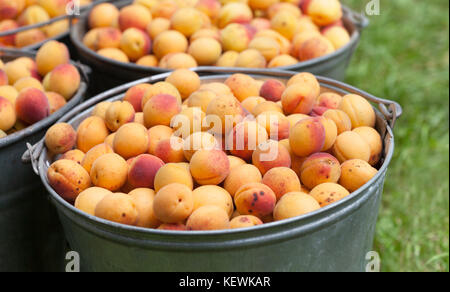 Apricots in a bucket. Ripe orange red textured fruits close-up. Healthy organic food concept. Macro view farmers - Stock Photo