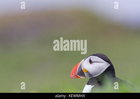 Atlantic Puffin (Fratercula arctica) sitting on a Scottish cliff top, looking out to sea. - Stock Photo