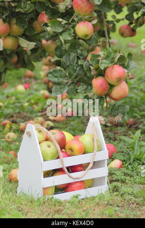 Heritage apple varieties including Duchess's Favourite, Bascombe Mystery and Hunt House in an English orchard at - Stock Photo