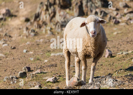 sheep looking at camera in field. Copy space for text - Stock Photo