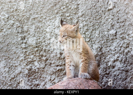 a cub of the northern lynx, is played on the steps, an abandoned building in Siberia - Stock Photo