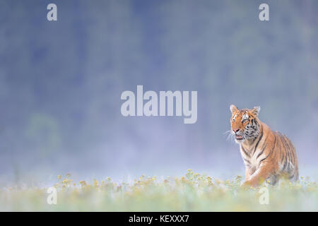 Siberian tiger on grass - Stock Photo