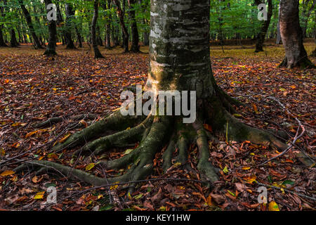 Tree root in an autumn forest - Stock Photo