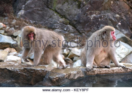 Snow monkeys or Japanese macaques (Macaca fuscata) at Jigokudani Monkey Park, Japan, Asia. Japanese wildlife, Asian - Stock Photo