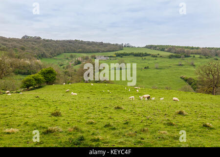 Cotswold landscape: White sheep and young spring lambs in a field near Snowshill in rolling countryside in the Gloucestershire - Stock Photo