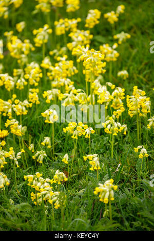 Yellow cowslips (Primula veris) growing, flowering in grass in the spring in the Cotswolds, Gloucestershire, south - Stock Photo