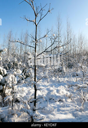young snow-covered forest - Stock Photo