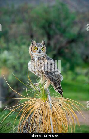 Great Horned Owl  Bubo virginianus Tucson, Arizona, United States 20 August 2014          Immature sitting on Soaptree Yucca (Yucca elata).      Strig