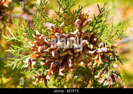 Brunch of thuya with cones. Thuja part of tree. Conifer - Stock Photo