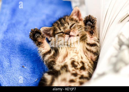 Little sweet kitten with paws up on his back at home. - Stock Photo