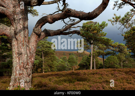 Scots Pines, a coniferous tree is part of the Caledonian Forest,  in the Cairngorms National Park, Mar Lodge Estate, - Stock Photo