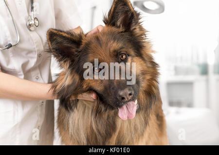 dog examination by veterinary doctor - Stock Photo