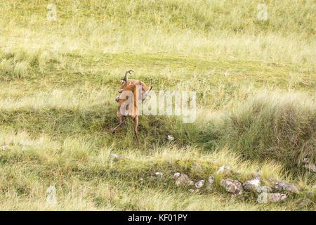 Scottish Red deer (Cervus elaphus scoticus) stags fighting during the rutting season, Isle of Rum. - Stock Photo