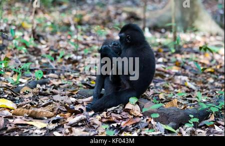 Black macaque in Tangkoko national park, Sulawesi - Stock Photo