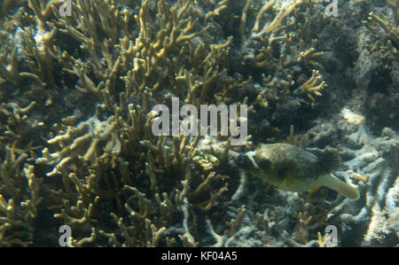 Dog fish swimming in the reef of Indonesia - Stock Photo