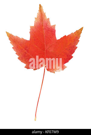 Red maple leaf isolated on white - Stock Photo