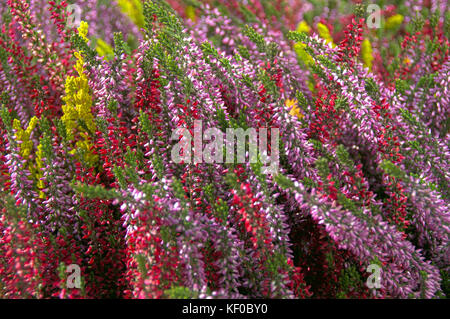 A colorful composition of heather flowers. Typical of autumn plants blooming. - Stock Photo