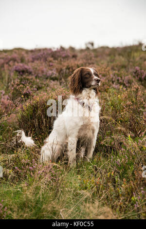 A springer spaniel sitting alertly during a walk through moorland, UK - Stock Photo