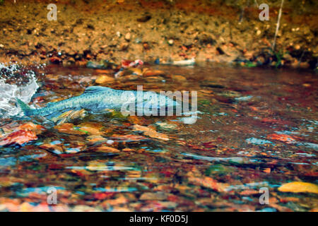when the salmon are running - humpback salmon (Oncorhunchus gorbusha, females) in the shallow of watercourse - life - Stock Photo