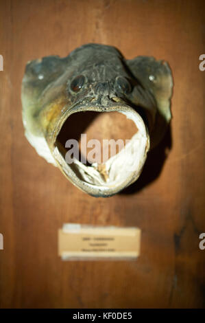 Close up of a large mouth bass fish head mounted as a trophy on a timber block. - Stock Photo