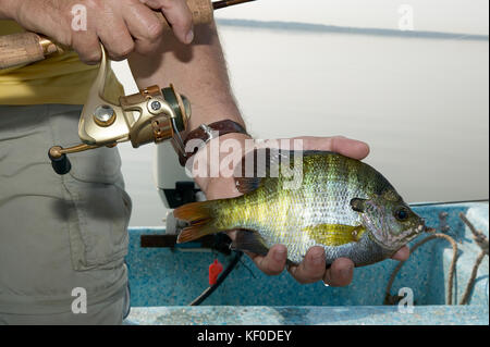 Fisherman holding a hooked bluegill in his hand clearly showing the blue ,marking behind the gill and stripes on - Stock Photo