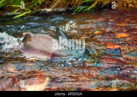 when the salmon are running - humpback salmon (Oncorhunchus gorbusha) in shallow of watercourse - life force, vital - Stock Photo