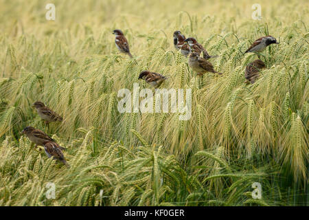House sparrows eating a crop of barley, Alnwick, Northumberland. - Stock Photo
