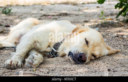Close up of dog is sleeping on the ground in the farm. - Stock Photo