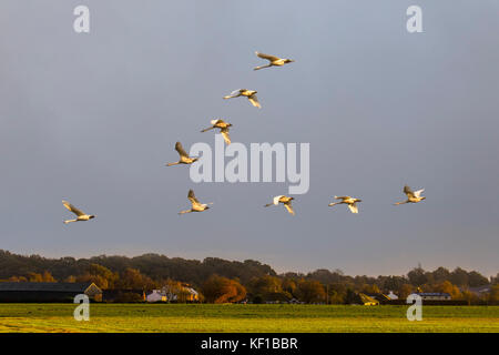 Burscough, Lancashire. 25th Oct, 2017. UK Weather. Whooper swans arrive from Iceland with the onset of northerly - Stock Photo