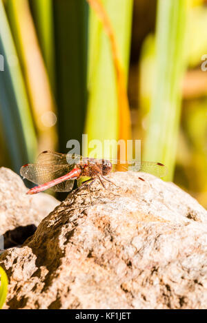 Vertical photo of single big red dragonfly with big eyes and long transparent wings with red marks. Insect is perched - Stock Photo
