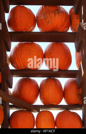 Wall of Pumpkins on White Background - Stock Photo