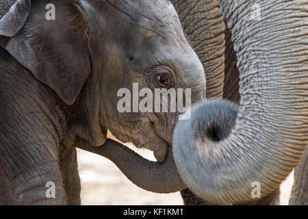 Close up of cute three week old calf in herd of Asian elephants / Asiatic elephant (Elephas maximus) - Stock Photo