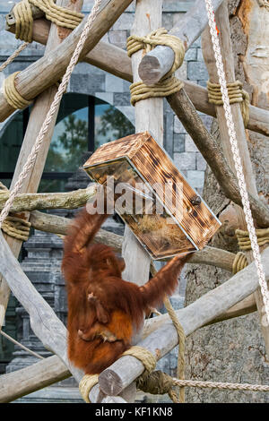 Sumatran orangutan / orang-utan (Pongo abelii) female with baby eating nuts from feeding device in zoo / zoological - Stock Photo