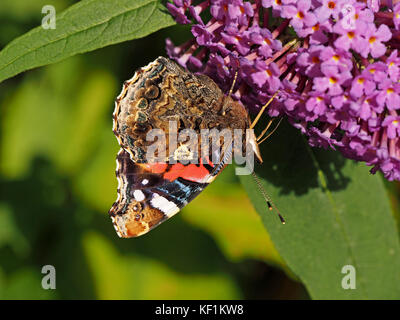 detailed beauty of underside of wing of Red Admiral butterfly (Vanessa atalanta) previously red admirable, feeding - Stock Photo